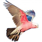 galah craft film wings