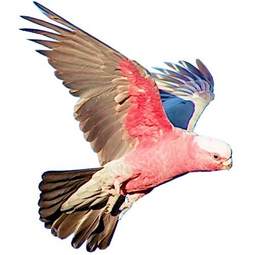 galah craft film wings