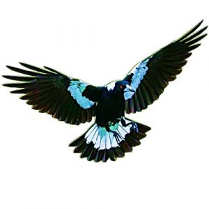 magpie craft film wings