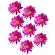 pink daisy film designs