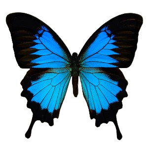 ulysses butterfly film designs